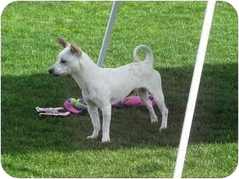 Jack Russell Terrier Dog for adoption in Scottsdale, Arizona - RUSSELL III