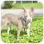 Photo 4 - Boxer/Bull Terrier Mix Dog for adoption in West Los Angeles, California - Nick