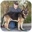 Photo 1 - German Shepherd Dog Dog for adoption in Los Angeles, California - Rambo von Rhodes