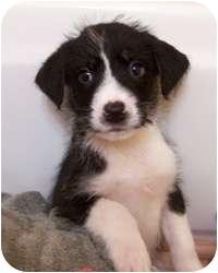 Husky/Terrier (Unknown Type, Medium) Mix Puppy for adoption in Wasilla, Alaska - Jake