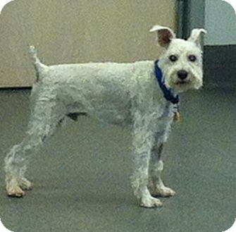 Schnauzer (Miniature) Mix Dog for adoption in Phoenix, Arizona - Spike