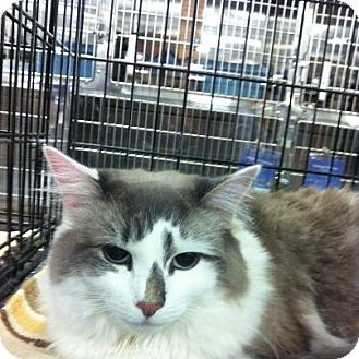 Ragdoll Cat for adoption in Pittstown, New Jersey - Isa