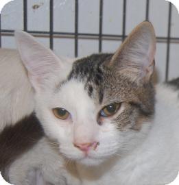 Domestic Shorthair Kitten for adoption in Brooklyn, New York - Ford
