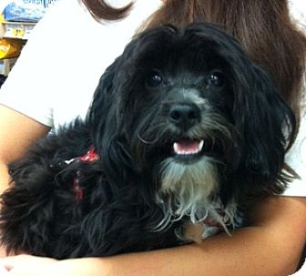 Yorkie, Yorkshire Terrier/Maltese Mix Puppy for adoption in Studio City, California - Brody