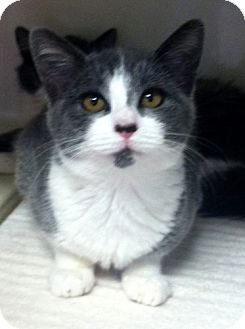 Domestic Shorthair Kitten for adoption in Red Bluff, California - Angelina