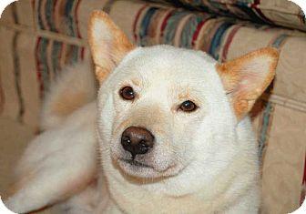 Shiba Inu Dog for adoption in Salem, New Hampshire - RAIDEN