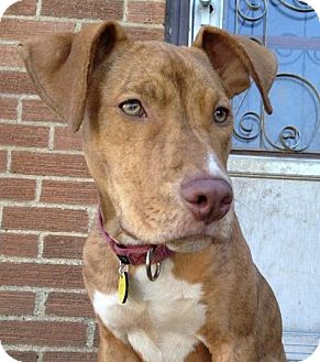 American Staffordshire Terrier/Terrier (Unknown Type, Medium) Mix Puppy for adoption in North Olmsted, Ohio - Lavendar