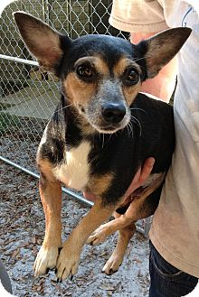 Rat Terrier/Chihuahua Mix Dog for adoption in Gainesville, Florida - Miggy