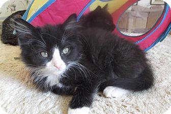 Domestic Longhair Kitten for adoption in Colmar, Pennsylvania - Amy
