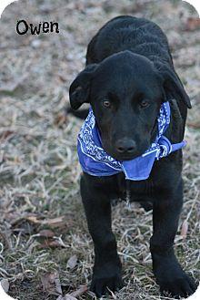 Labrador Retriever Mix Puppy for adoption in Cranford, New Jersey - Owen