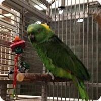 Adopt A Pet :: Gittle - Northbrook, IL