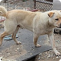 Chow Chow Mix Dog for adoption in Midlothian, Virginia - Nanook