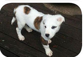 Australian Shepherd Mix Puppy for adoption in elizabethtown, New York - Lucky