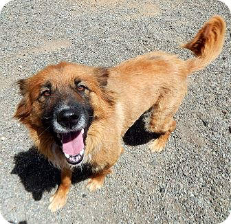 Shepherd (Unknown Type) Mix Dog for adoption in Kelseyville, California - Chewbacca
