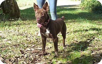 Cattle Dog Mix Dog for adoption in Tillamook, Oregon - Brownie