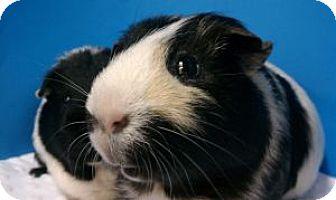 Guinea Pig for adoption in Aurora, Colorado - Frankie
