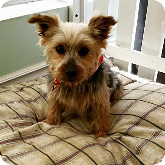 Yorkie, Yorkshire Terrier Dog for adoption in London, Ontario - Maple