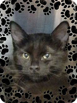 Domestic Shorthair Kitten for adoption in Pueblo West, Colorado - Gold
