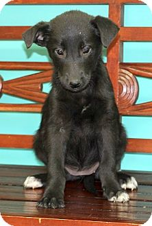 Labrador Retriever Mix Puppy for adoption in Concord, North Carolina - Hailey