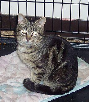 Domestic Shorthair Cat for adoption in Morganton, North Carolina - Macy