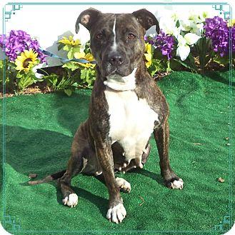 Boxer/Labrador Retriever Mix Dog for adoption in Marietta, Georgia - YOGA