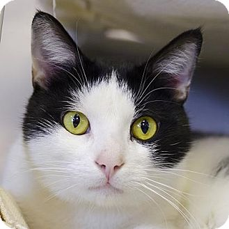 Domestic Shorthair Cat for adoption in Adrian, Michigan - MooMoo