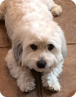 Bichon Frise Mix Dog for adoption in East Hanover, New Jersey - Fluffy