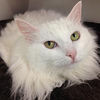 Adopt A Pet :: Cici - Newport Beach, CA