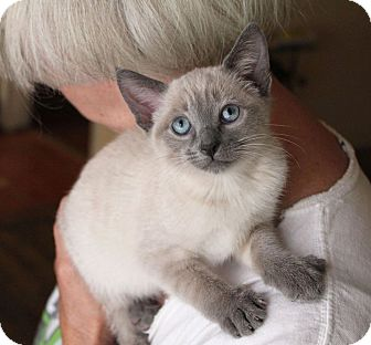 Siamese Kitten for adoption in Studio City, California - Gwen-Siamese kitten