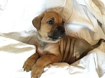 Black Mouth Cur Mix Puppy for adoption in Jacksonville, Florida - Mikey