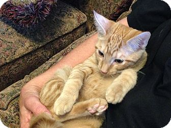 Domestic Shorthair Kitten for adoption in Plano, Texas - JAZ - SWEET BABY SEMI-BOB TAIL
