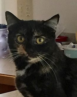 Domestic Shorthair Cat for adoption in Flint HIll, Virginia - Tootsie