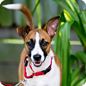 Border Collie/Rat Terrier Mix Dog for adoption in Houston, Texas - Sara