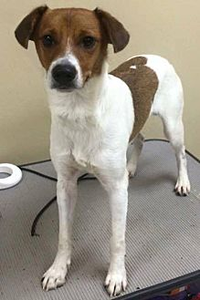 Jack Russell Terrier Dog for adoption in Dallas/Ft. Worth, Texas - Bolt in Denton