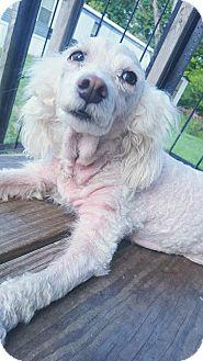 Poodle (Miniature) Mix Dog for adoption in Goldens Bridge, New York - April