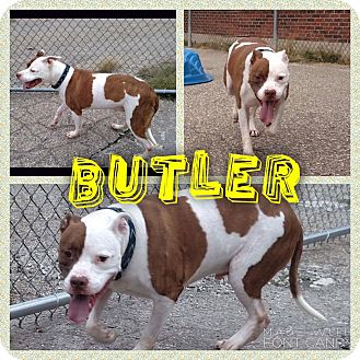 American Pit Bull Terrier Mix Dog for adoption in Garden City, Michigan - Butler