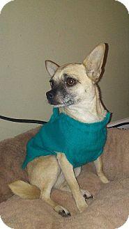 Chihuahua/Pomeranian Mix Dog for adoption in Coeburn, Virginia - PRECIOUS