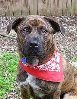 Boxer/Labrador Retriever Mix Dog for adoption in Lago Vista, Texas - Ajax