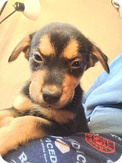 German Shepherd Dog/Australian Cattle Dog Mix Puppy for adoption in Cave Creek, Arizona - Bliss