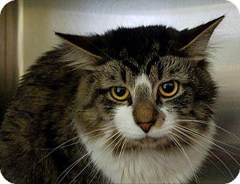 Domestic Longhair Cat for adoption in Elyria, Ohio - Bozo