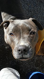 American Pit Bull Terrier Mix Dog for adoption in Simi Valley, California - Morgan