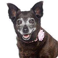 Adopt A Pet :: Ginger Rogers-I'm an easy dog! - Los Angeles, CA