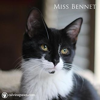 Domestic Shorthair Cat for adoption in Raleigh, North Carolina - Miss Bennet