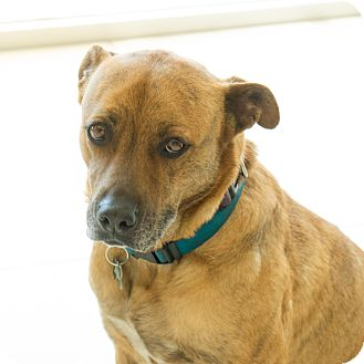 Shepherd (Unknown Type)/American Staffordshire Terrier Mix Dog for adoption in Culver City, California - Miranda