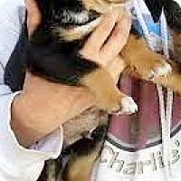 Adopt A Pet :: Blossom-ADOPTION PENDING - Boulder, CO
