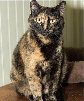 American Shorthair Cat for adoption in Big Canoe, Georgia - Tenley