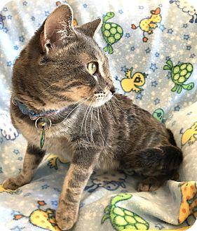 Domestic Shorthair Cat for adoption in Alexandria, Minnesota - Tobias