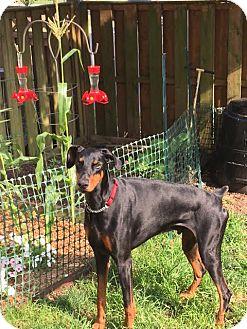 Doberman Pinscher Dog for adoption in Arlington, Virginia - Sig