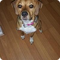 Adopt A Pet :: Luna - Manassas, VA