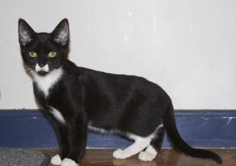 Domestic Shorthair/Domestic Shorthair Mix Cat for adoption in Ellicott City, Maryland - Paprika